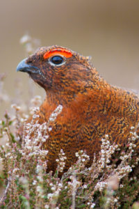 Red grouse (Credit to Mike Nicholas)
