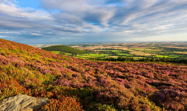 Heather on the York Moors